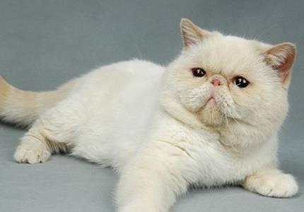 異國短毛貓的性格 該貓不拘小節及忠誠 - 愛寵物咨詢網