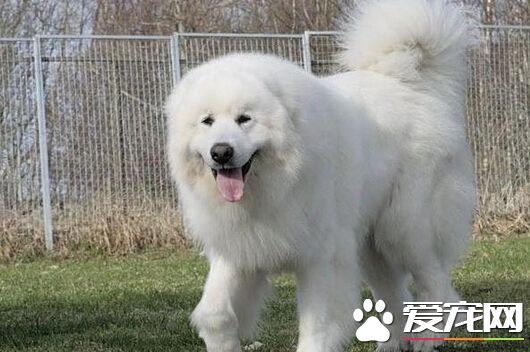 大白狗是什麼狗 其實是大白熊或是薩摩耶 - 愛寵物咨詢網