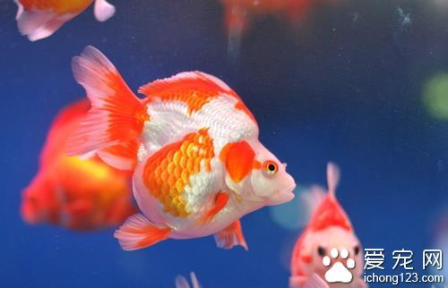 養什麼魚招財 養觀賞魚的幾個注意飼養 - 愛寵物咨詢網