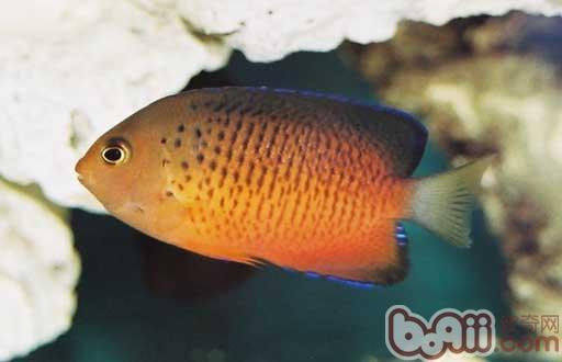 紅閃電魚的品種介紹 - 愛寵物咨詢網