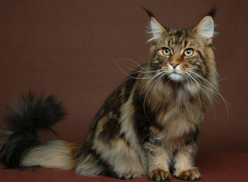 緬因貓能吃火腿嗎 有哪些飼養方法 - 愛寵物咨詢網