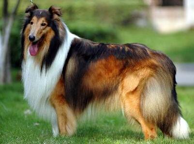 蘇格蘭牧羊犬聰明嗎 其聰明得到人們肯定 - 愛寵物咨詢網