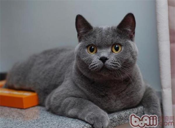 英國短毛貓的顏色有哪些 - 愛寵物咨詢網