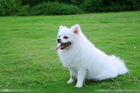 純白色的狗是什麼狗 養愛犬是治病良藥 - 愛寵物咨詢網