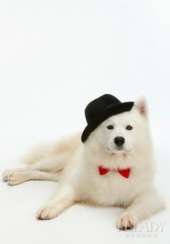 清新怡人香 給薩摩耶洗澡四大技巧 - 愛寵物咨詢網