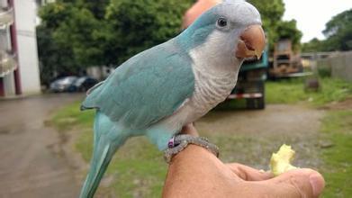 和尚鸚鵡飼養 和尚鸚鵡相關飼養行為解析 - 愛寵物咨詢網