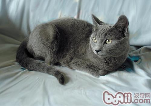 沙特爾貓的品種介紹 - 愛寵物咨詢網