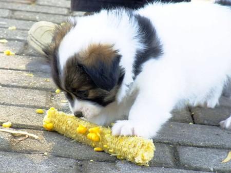 狗可以吃玉米嗎 最好是弄碎了給狗狗吃 - 愛寵物咨詢網