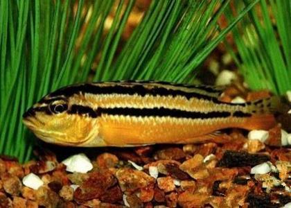 非洲鳳凰魚怎麼繁殖 繁殖水溫27~29℃ - 愛寵物咨詢網