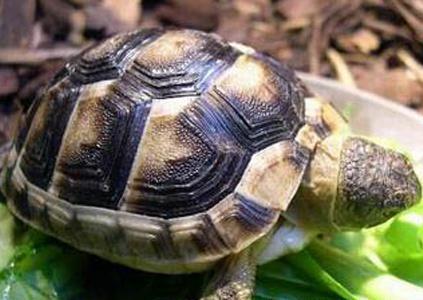 翹緣陸龜價格 通常購買的都是稚龜 - 愛寵物咨詢網