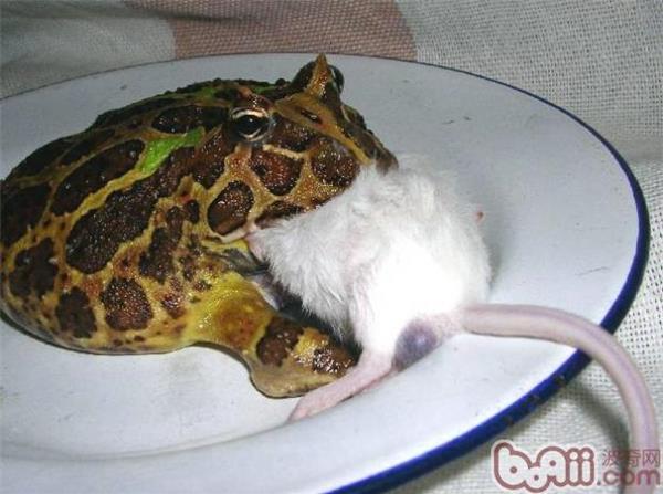 不建議經常餵食角蛙的五種飼料 - 愛寵物咨詢網