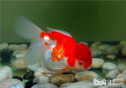 觀賞魚水黴病的癥狀表現 - 愛寵物咨詢網