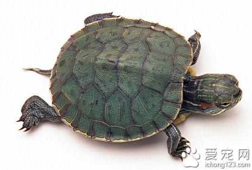 龜的種類 介紹幾種常見烏龜的特點 - 愛寵物咨詢網