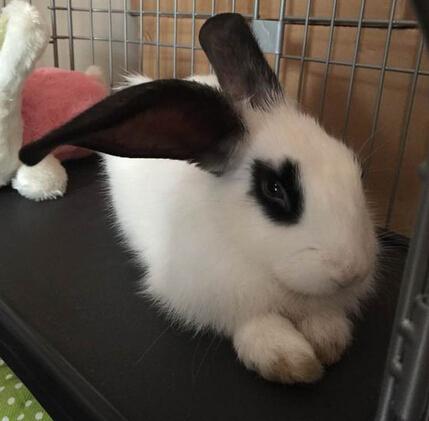 家兔能長多大 兔子一般壽命有多長 - 愛寵物咨詢網