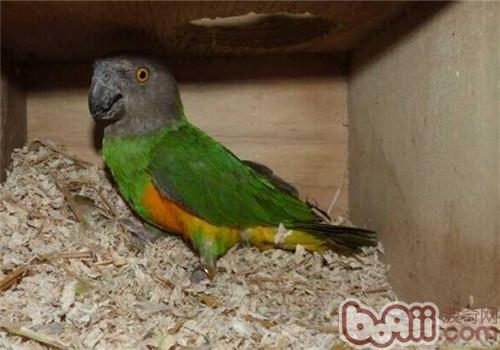 塞內加爾鸚鵡的品種簡介 - 愛寵物咨詢網