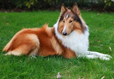 蘇格蘭牧羊犬性格 極有智慧且性格優良 - 愛寵物咨詢網