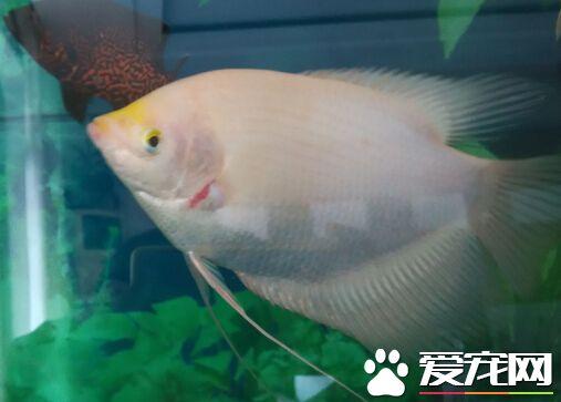 養招財魚要多大的缸 不小於200升的魚缸 - 愛寵物咨詢網