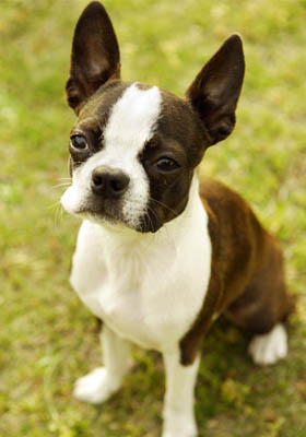 波士頓梗多少錢 選購性價比高的狗狗 - 愛寵物咨詢網