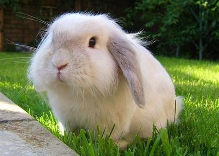 英國垂耳兔怎麼養 給兔子吃專門的兔糧 - 愛寵物咨詢網