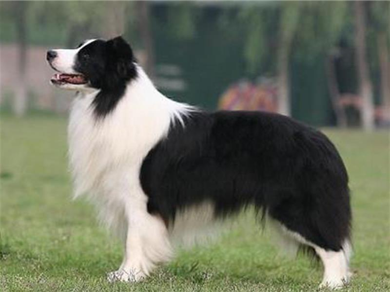 邊境牧羊犬的價格 純種邊境牧羊犬較貴 - 愛寵物咨詢網