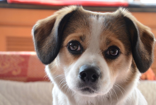 狗狗身上有小紅點 原因是什麼 - 愛寵物咨詢網
