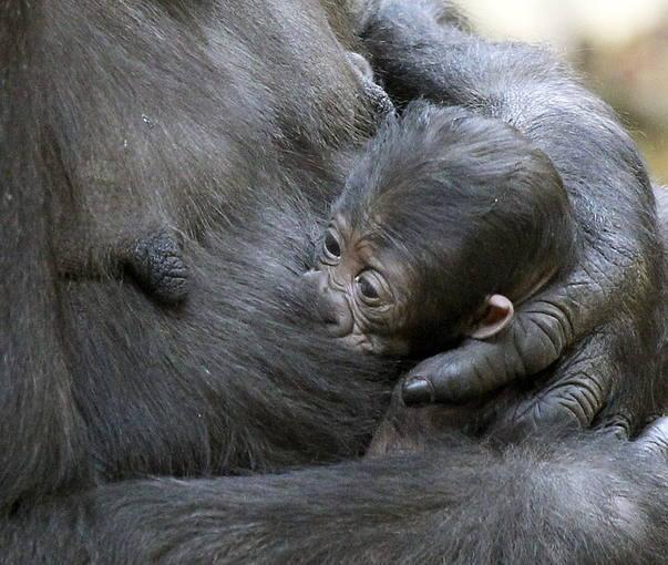A pesar de ser primeriza, Chelewa no se ha separado en ningún momento de la recién nacida
