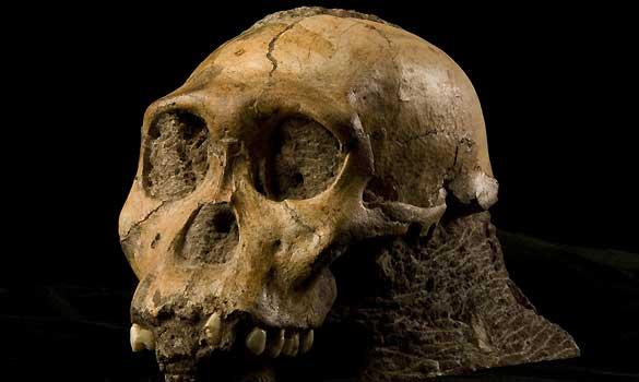 El 'Australopithecus sediba' allanó el camino evolutivo de las especies 'Homo'