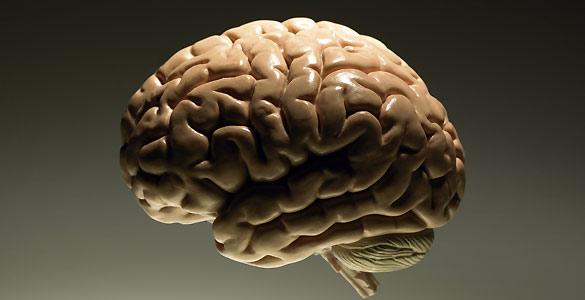 Los humanos son los únicos primates cuyo cerebro encoge con la edad