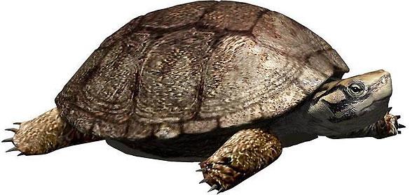 Reconstrucción de la tortuga 'Polysternon isonae' a partir de los restos fósiles recuperados en Isona.