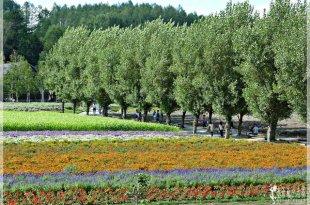 日本北海道富田農場攻略,美到暈_富良野線上的紫色珍珠:富田農場