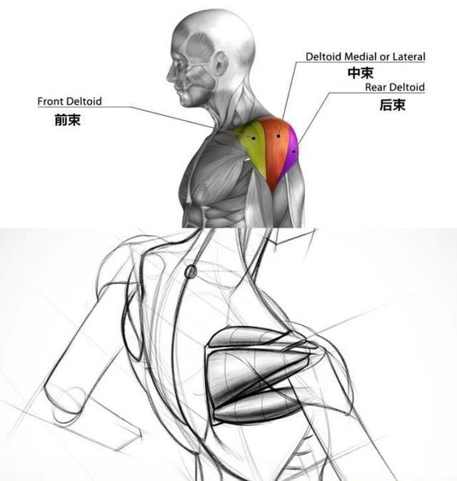 想用啞鈴側平舉練三角肌中束,為啥肩膀卻疼了?你可能忽略了這些 - ITW01