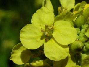 cheren-sinap-brassica-nigra