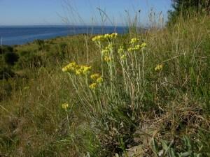 helichrysum-arenarium жълт смил