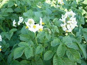kartofi-Solanum-tuberosum