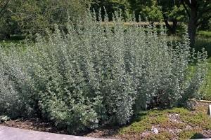 pelin-Artemisia-absinthium