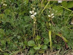 pyrola-rotundifolia кръглолистно наваличе