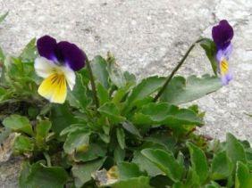 tricvetna-temenuga-viola-tricolor