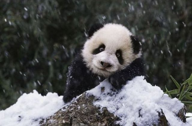 Cute And Funny Baby Koala Wallpaper Adorable Panda Family Has Fun In The First Snow 9 Pics