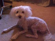 hilarious dog haircuts 49 pics