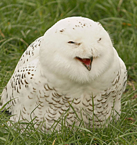 Cute Laughing Snowy Owls