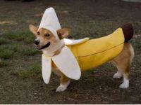 The Only Cute Corgi Halloween Costume Post (90 pics ...