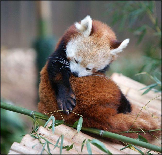 Surprised Panda Red Gif