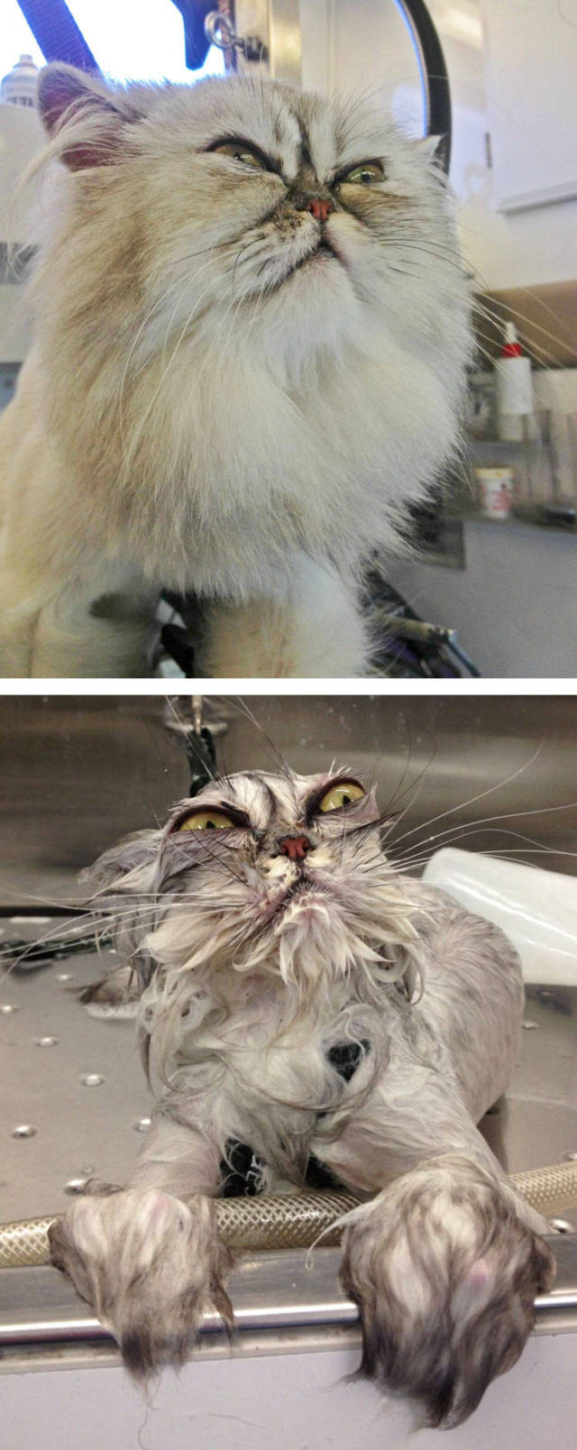 Animals Looking Funny After A Bath