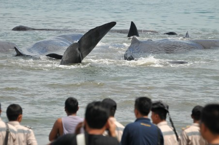 Local people withess several whales stranded in Ujong Karueng Beach in Aceh Besar regency, Aceh, on Monday, Nov. 13.