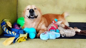 A golden retriever in JAAN's care smiles as it lays down with plushies.