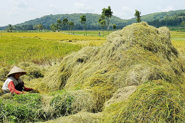 Indonesia To Develop Food Barns To Secure Rice Stocks Business The Jakarta Post