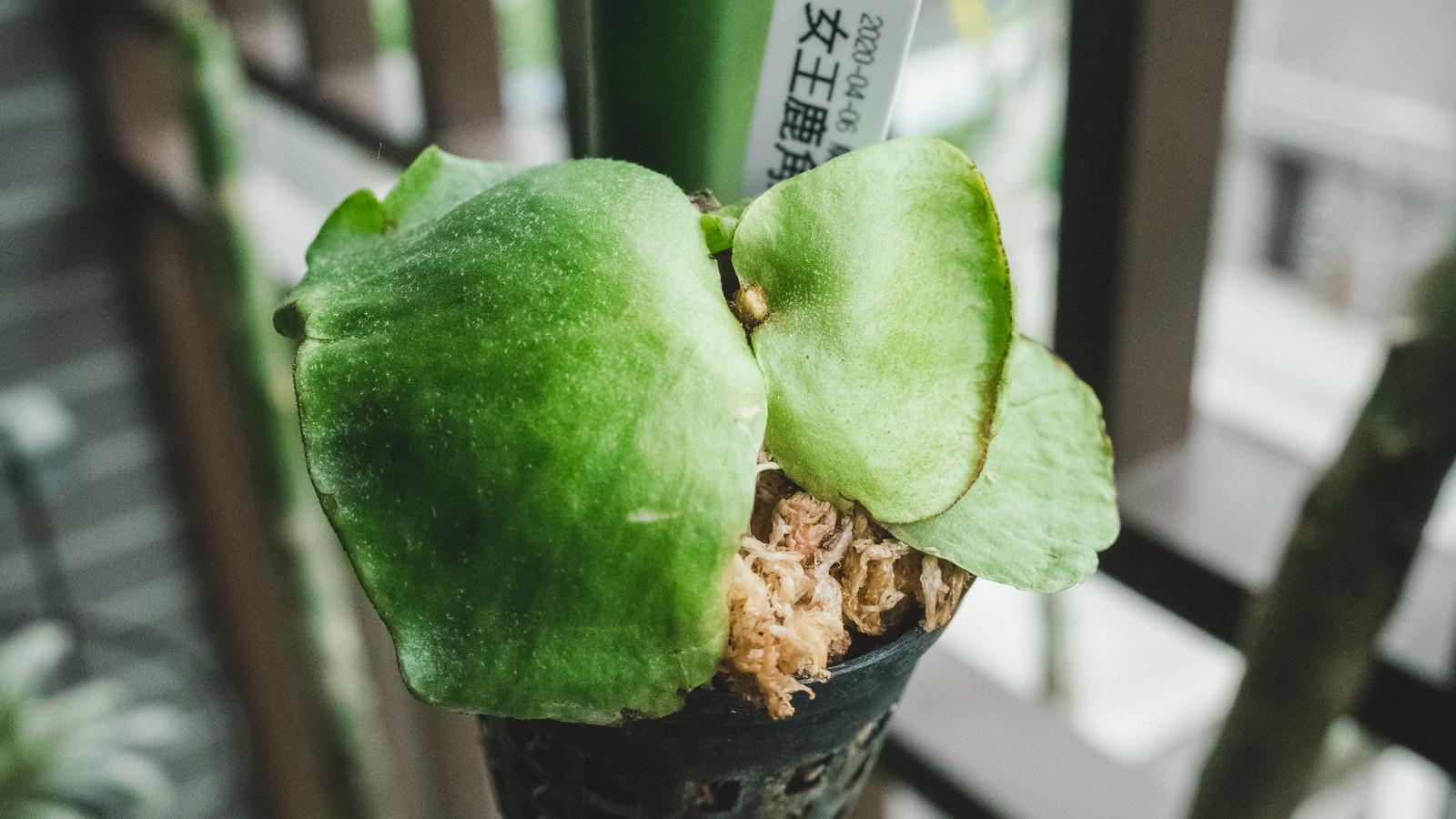 女王鹿角蕨 2 吋盆小苗成長紀錄