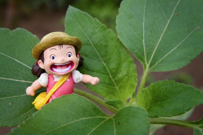 巨無霸向日葵成長紀錄(第 21 天)