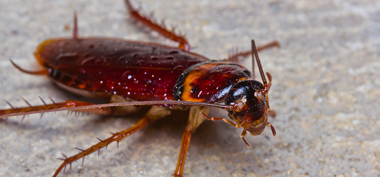除蟑螂(Cockroaches)