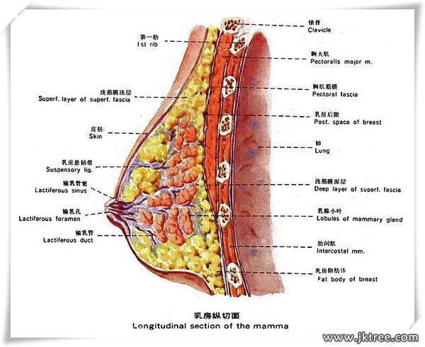 乳腺疾病的常見癥狀(圖)-健康樹